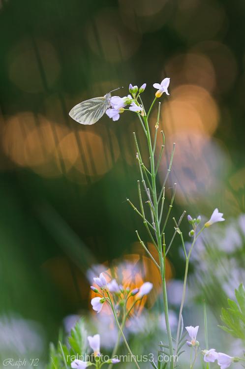 green-veined white klein geaderd witje nikon