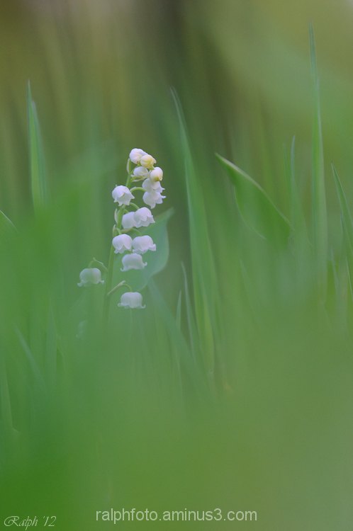 lily-of-the-valley lelietje-van-dalen nikon d90