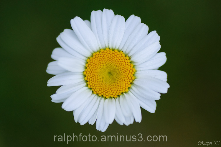 Oxeye daisy / Margriet