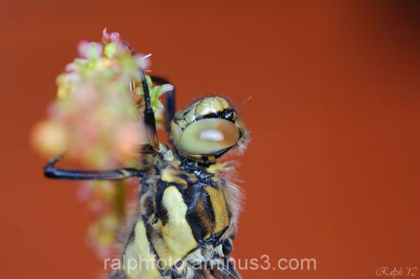 Black tailed skimmer / Gewone oeverlibel