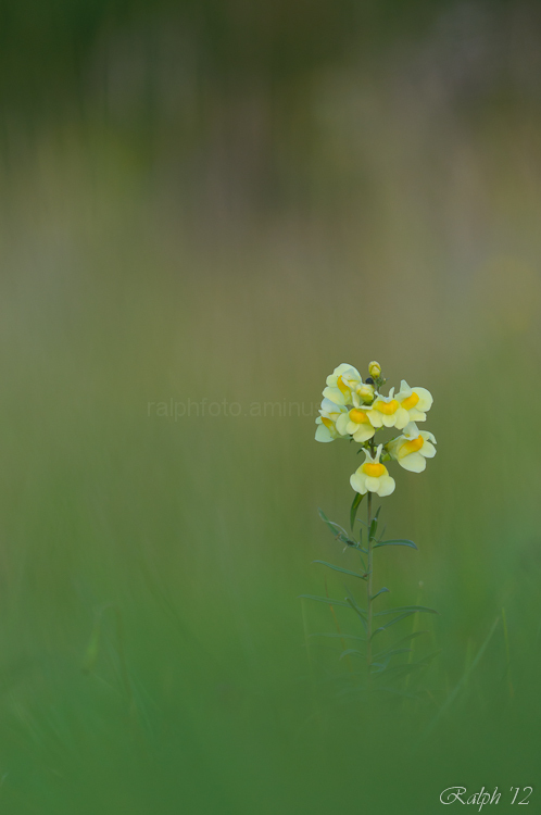 Common Toadflax / Vlasbekje