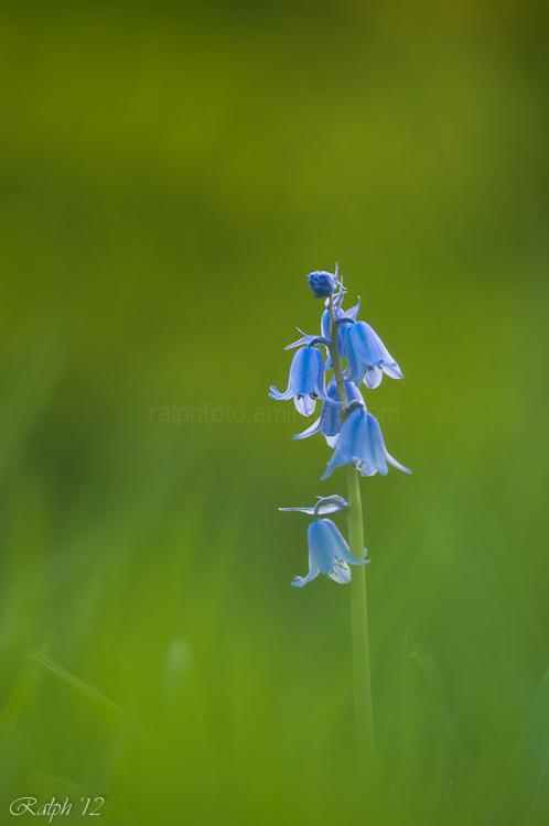 wilde-hyacint common-bluebell nikon d90 macro