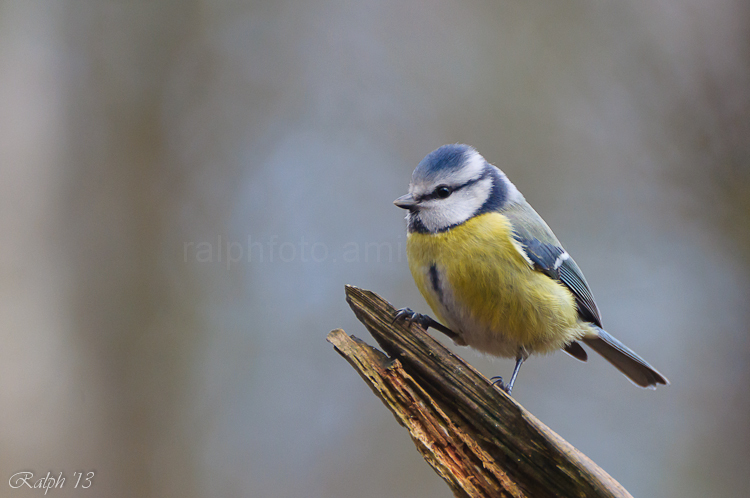 Blue tit / Pimpelmees
