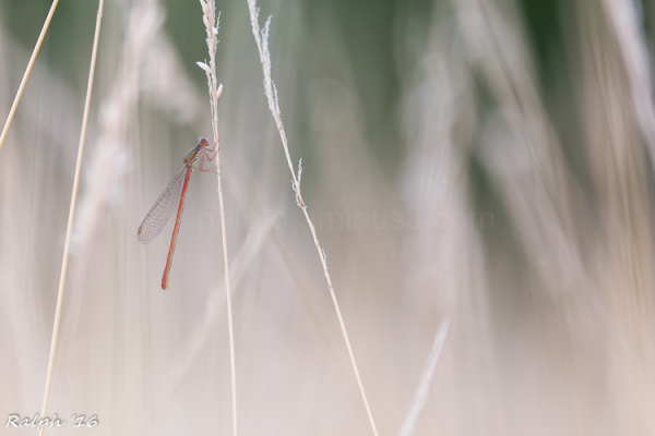 Juffertje in het gras