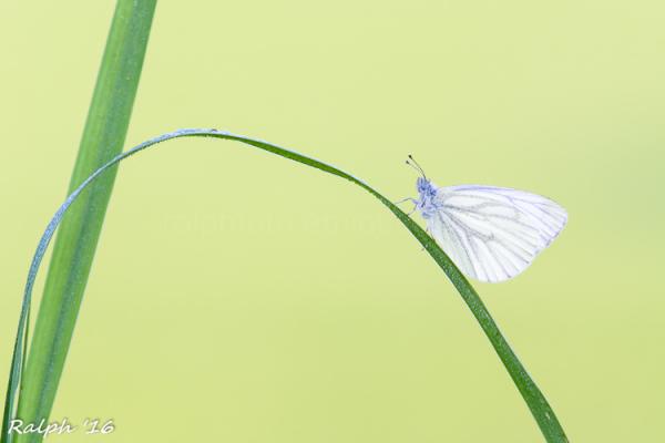 Klein geaderd witje