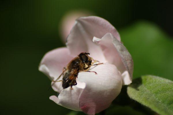 Abeille  sur fleur de cognassier