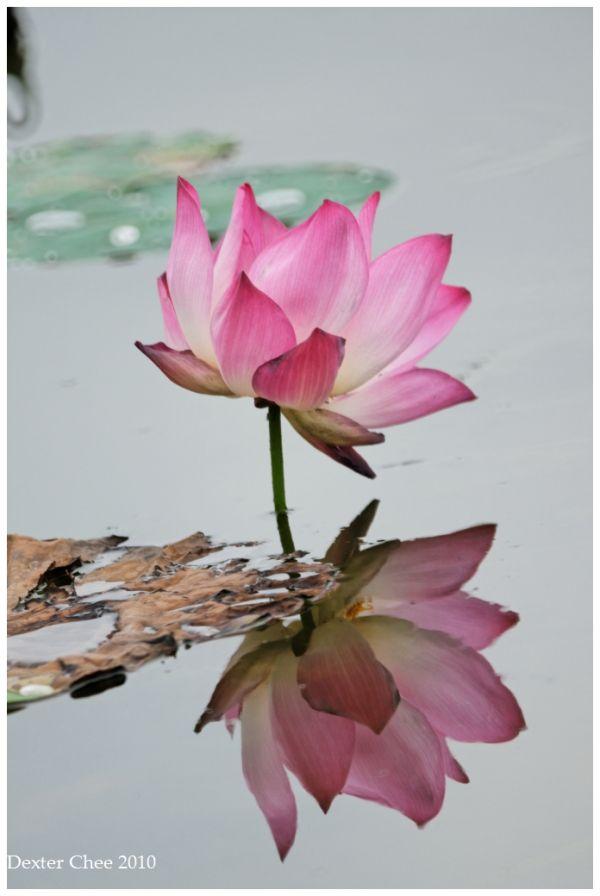 Lotus #1 - Mirror.