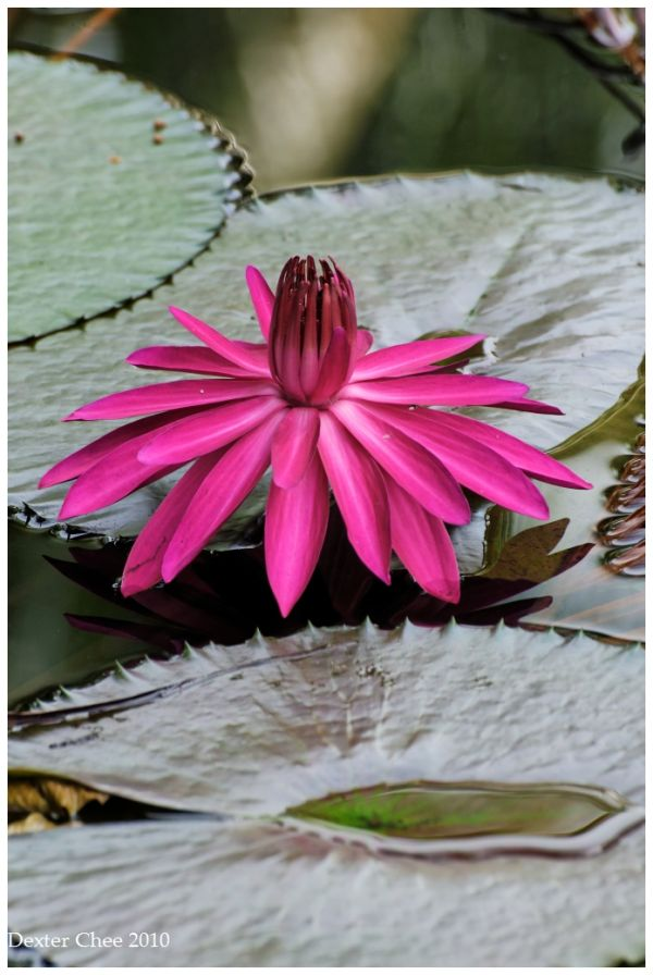 Water Lily #2 - RED