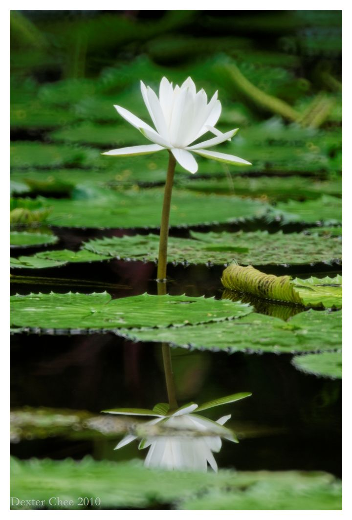 Water Lily #4 - Reflection.