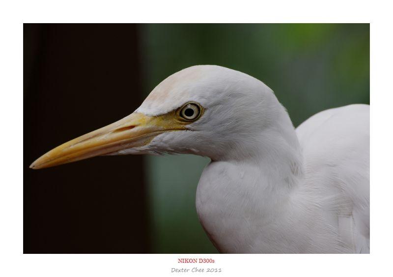 Bird #6 - Eastern Great Egret (Ardea Modesta)