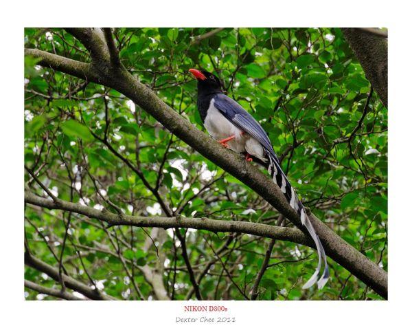 Bird #7 - Red-billed Blue Magpie