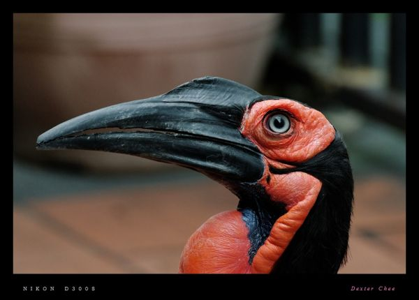 ~ Southern Ground Hornbill ~