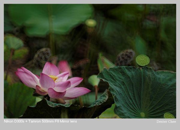 ~ Lotus 荷花系列 - #2  ~
