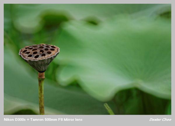 ~ Lotus 荷花系列 - #3  ~