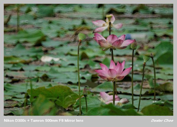 ~ Lotus 荷花系列 - #5  ~