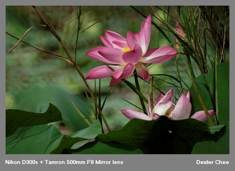 ~ Lotus 荷花系列 - #11  ~