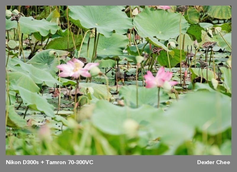 ~ Lotus 荷花系列 - #14  ~
