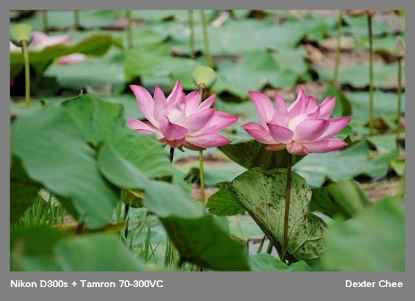 ~ Lotus 荷花系列 - #15  ~