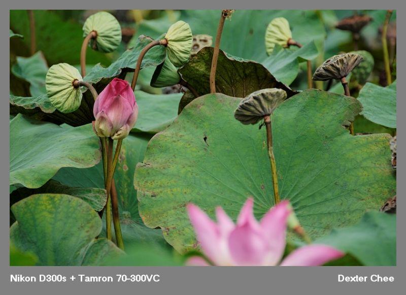 ~ Lotus 荷花系列 - #16  ~
