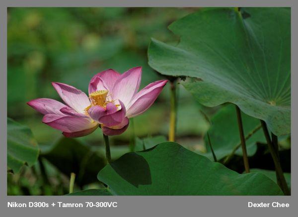 ~ Lotus 荷花系列 - #17  ~
