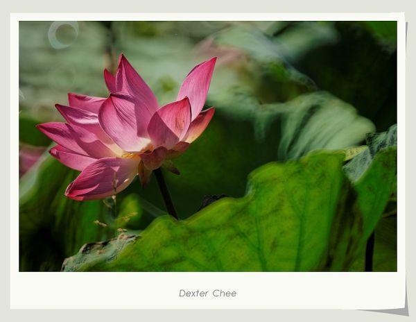 ~ I Love Lotus 爱荷 # 3 ~