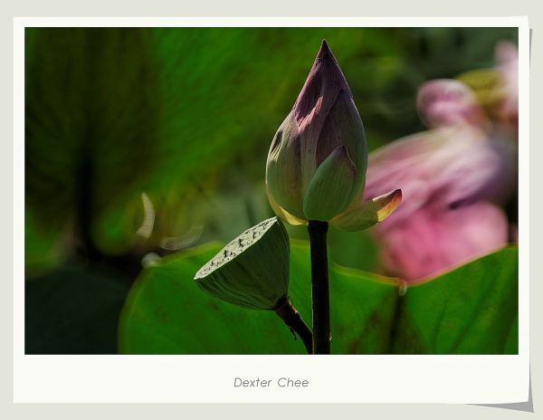 ~ I Love Lotus 爱荷 # 4 ~