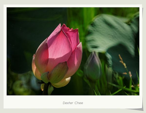 ~ I Love Lotus 爱荷 # 5 ~