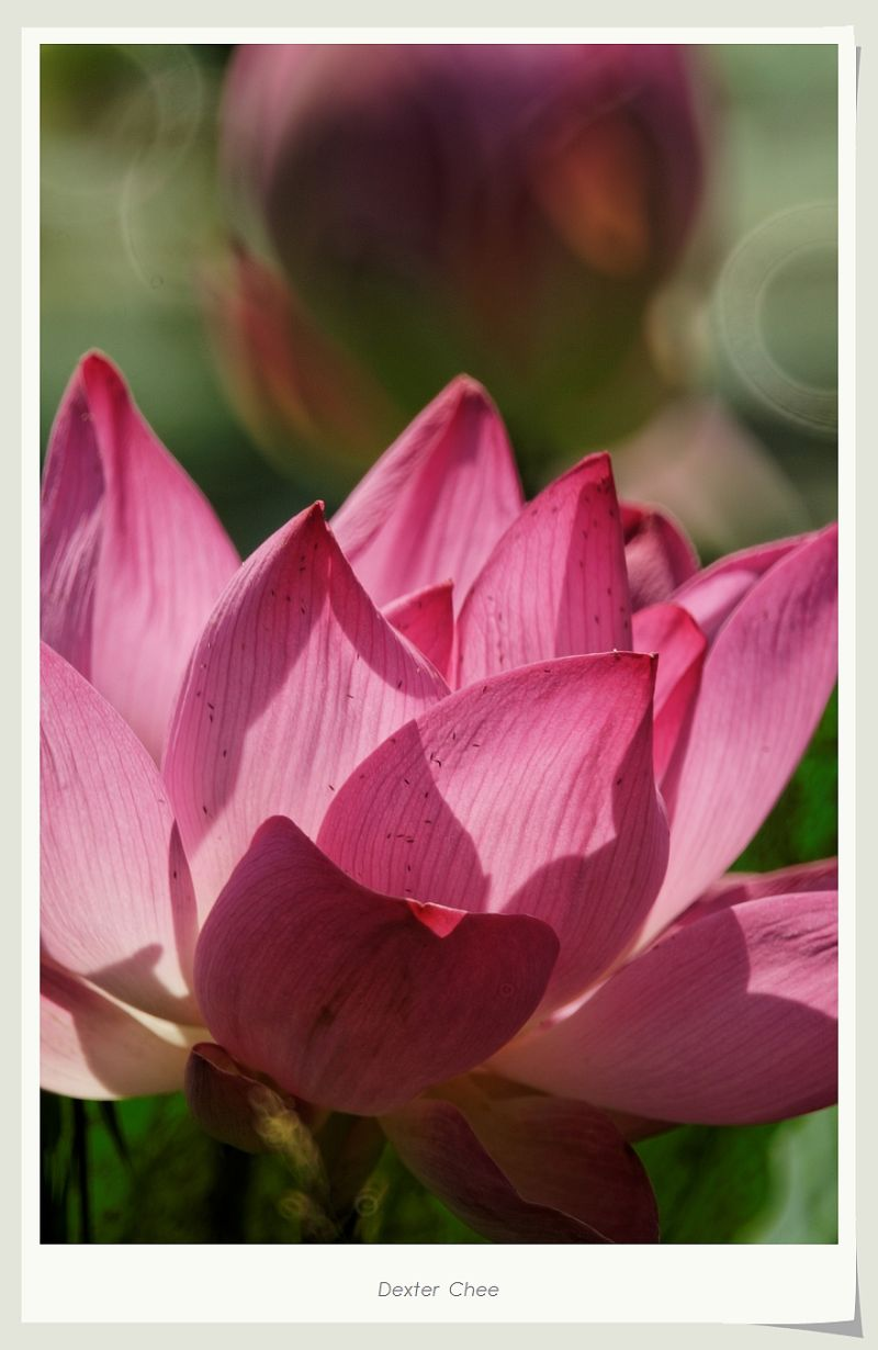 ~ I Love Lotus 爱荷 # 14 ~ - The Closer Look.