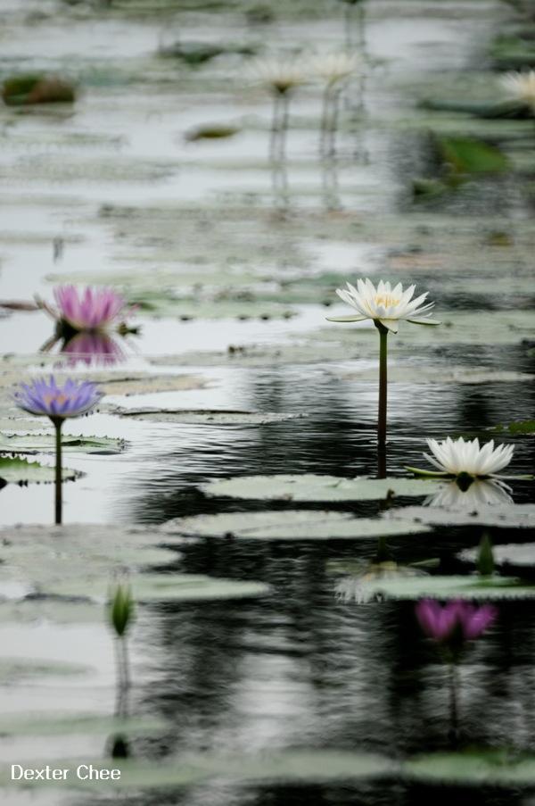 * I love Lotus - S2#57 * - I'm reflection