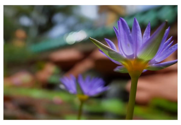 ~ Water Lily II ~