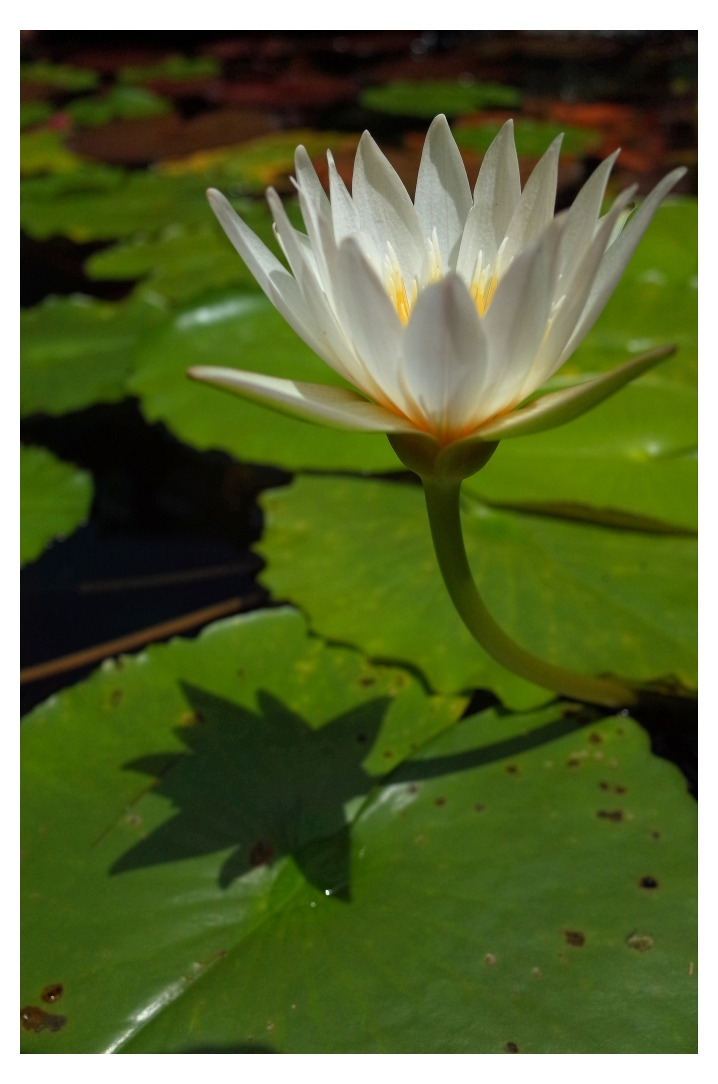 ~ Water Lily VI ~