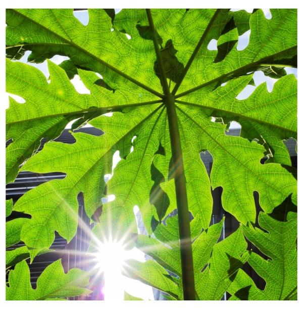 ~ Papaya Leaf ~