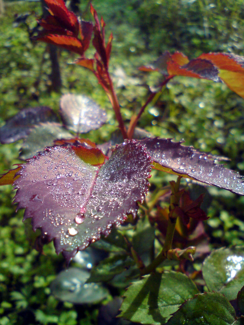 Nascence covered with dew.