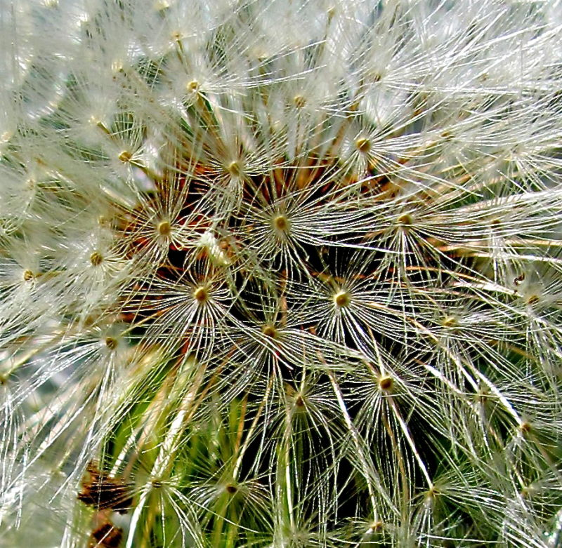 Yet Another Dandelion