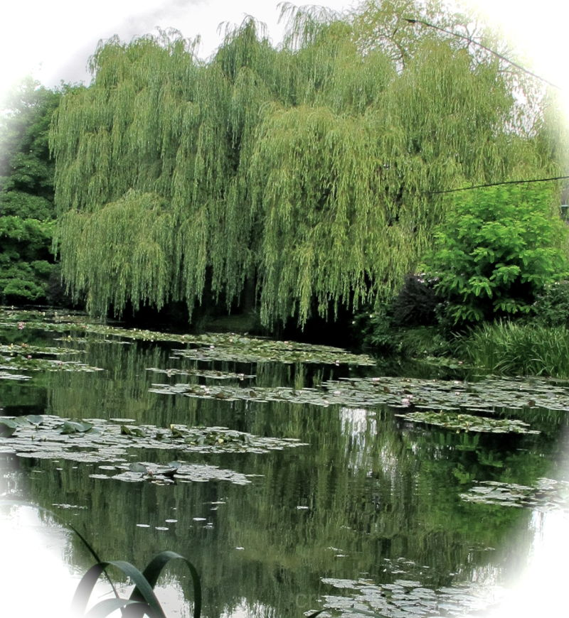 Willows and Lillies