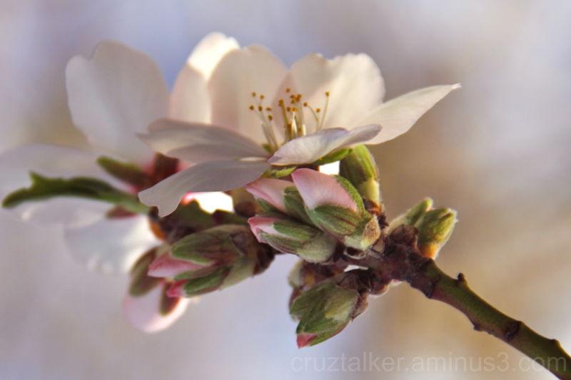 Blossom 2`