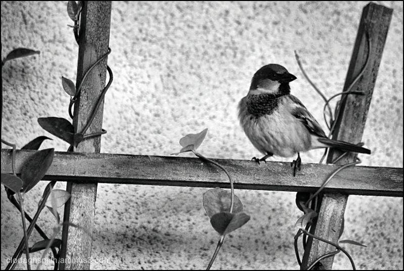 a little English sparrow