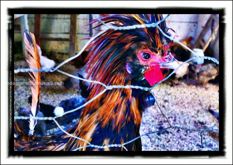 cluck!