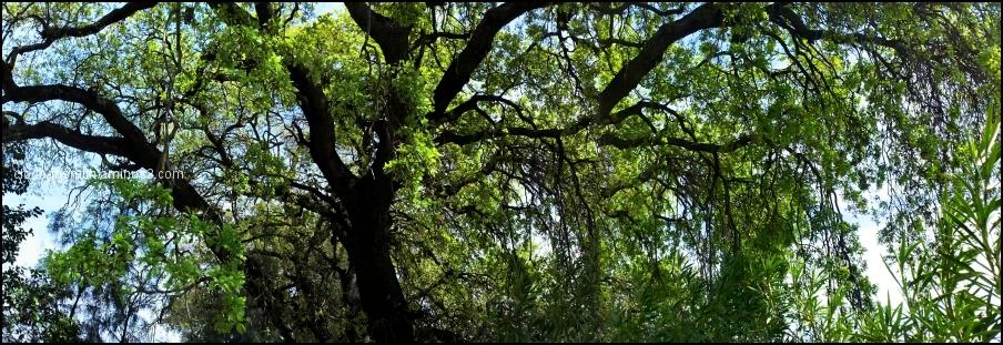 panoramic oak