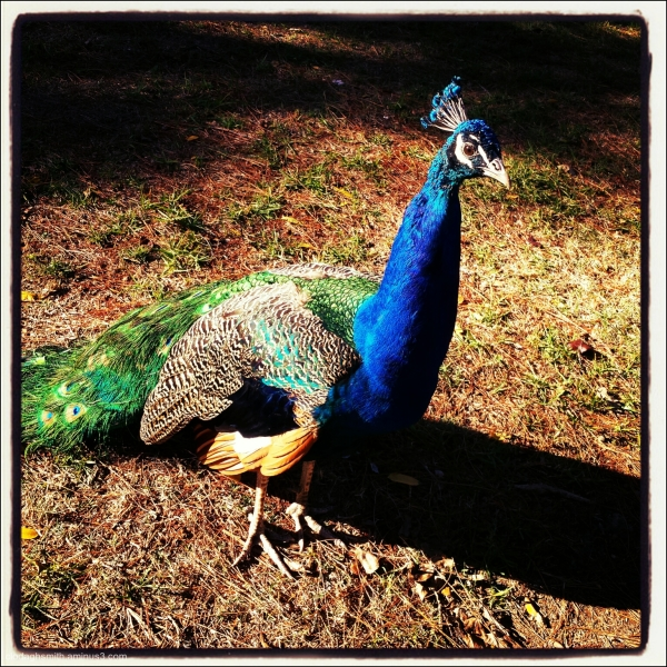 the peacock who joined the picnic