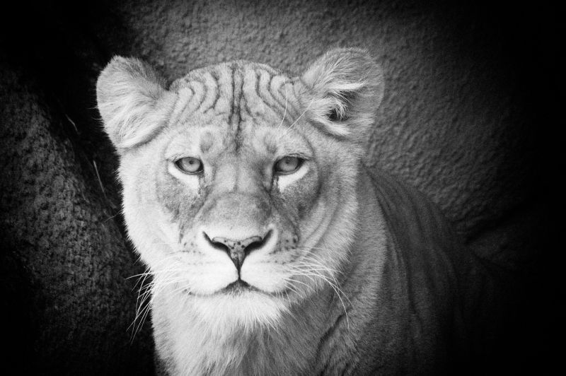 African Lion @ Rosamond Gifford Zoo