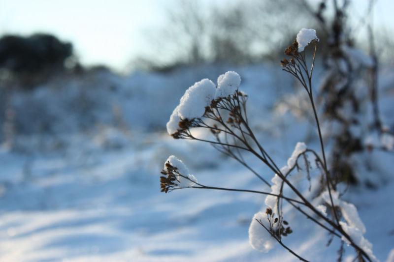 Snowy Plant at Longniddry