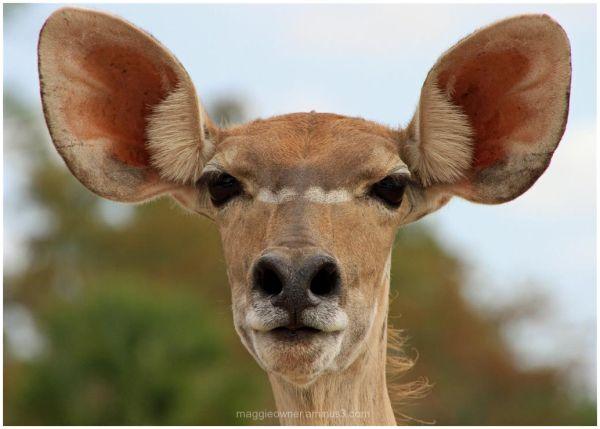 Are my ears big?