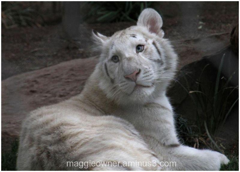 White tiger...