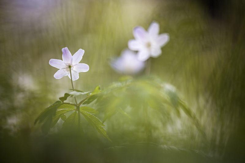 Anemone nemerosa a white flower in Spring.