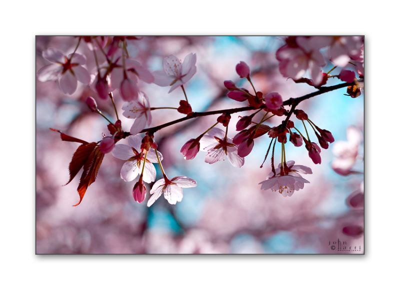 Pink cherry tree in Spring