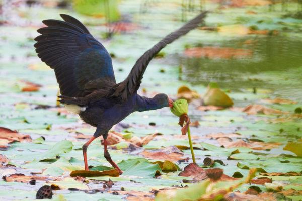 Purple Swamphen 紫水鸡