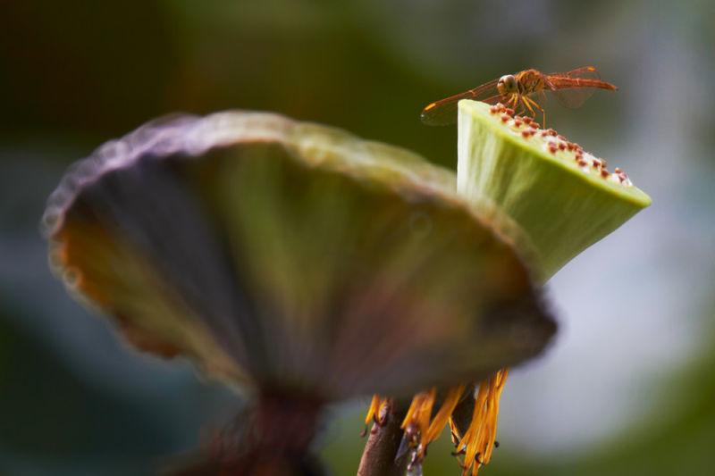 Dragonfly 篷上蜓