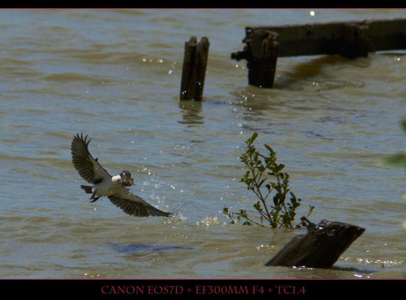 Collaerd Kingfisher