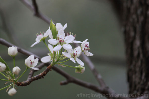 Blooming Bradford Pear
